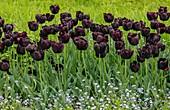 Tulipa 'Queen of the night'