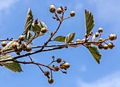 Devon whitebeam (Sorbus devoniensis)