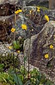 Snowdonia hawkweed (Hieracium snowdoniense)
