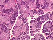 Human thymus, light micrograph
