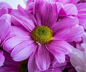 Chrysanthemum 'Grand Pink' flowers