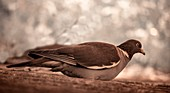 Wood pigeon, infrared image