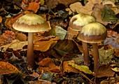 Butter cap fungi