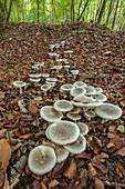 Clouded agari fungi