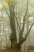 Beech woodland, Greece