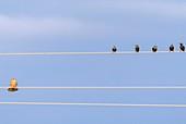 Female common kestrel
