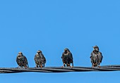 Starlings on telephone wire