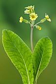 False oxlip (Primula x Polyantha)