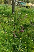 Snake's head fritallaries (Fritillaria meleagris)
