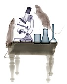 Lab rats, X-ray