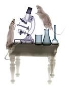 Lab rats, X-ray