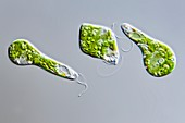 Euglena gracilis protist, LM