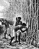 Brazilian rubber industry, 19th century illustration