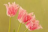 Tulipa 'Huis Ten Bosch'
