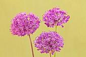 Persian onion (Allium hollandicum ' Purple Sensation')