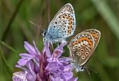Mating pair of silver-studded blue butterflies