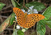 Male silver-washed fritillary butterfly