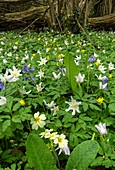 Spring flowers in coppiced hazel woodland