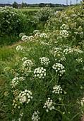 Hemlock water dropwort (Oenanthe crocata)