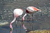 James's flamingos feeding on Laguna Charcota