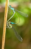 Mating pair of blue-tailed damselflies