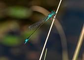 Male blue-tailed damselfly