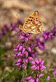 Queen of Spain fritillary butterfly