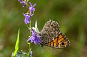 Crab spider with wall brown butterfly on heath lobelia