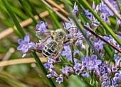Male ashy mining-bee
