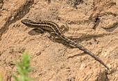 Female sand lizard