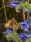 Lulworth skipper butterfly