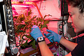 Astronaut cutting mustard leaves aboard the ISS