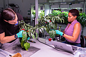Scientists harvesting peppers