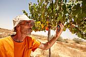 Vineyard, Israel