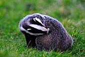 Badger grooming