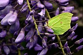 Brimstone butterflies