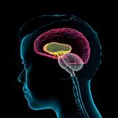 Human brain anatomy, 3D illustration