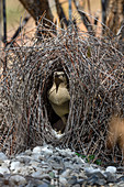 Great bowerbird male at courting bower