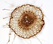 Calendula root, light micrograph