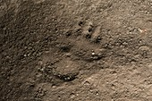 Bear footprint, Chauvet Cave replica