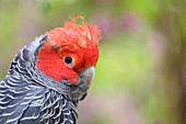 Gang-gang cockatoo male