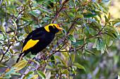 Regent bowerbird