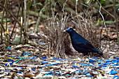 Satin bowerbird at bower