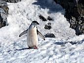 Inquisitive Chinstrap penguin, Antarctica
