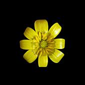 Ranunculus ficaria flower