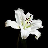 Madonna lily (Lilium candidum) flower