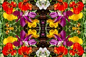 Tulips, abstract image