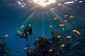 Scuba diver swimming over a coral reef, composite image