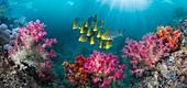 Shoal of oriental sweetlips, composite image