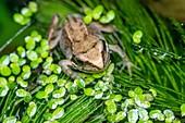 Common froglet